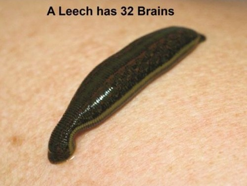 A Leech has 32 Brains
