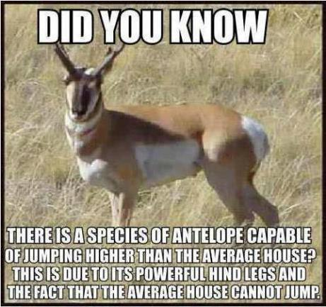 Antelope jumps higher than house