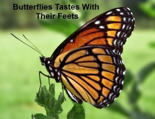 Butterflies Tastes With Their Feet