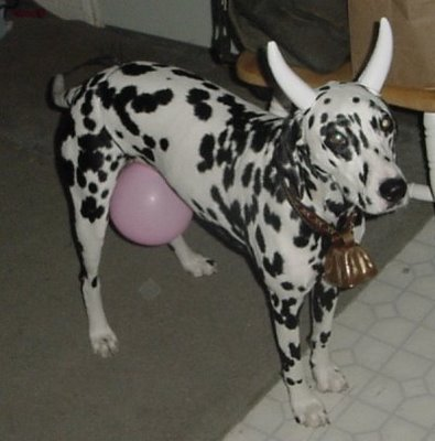 Cow Dog does not look impressed