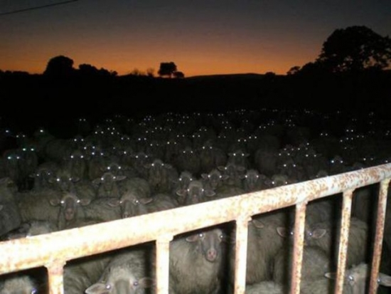 The sheep they watch you