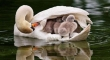 Baby swans under wing