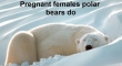 Not All Polar Bears Hibernate