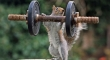 Weightlifter Squirrel
