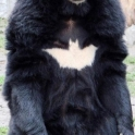 Batman Batbear