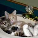 Cute kittens in a sink