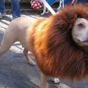 Dog Dress As A Lion