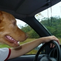 Dog Driving Seems Legit