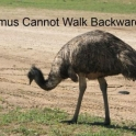Emus cannot walk backwards