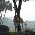 Giraffes can now teleport through trees