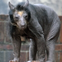 Hairless Bear