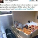 Possum broke in to the local bakery