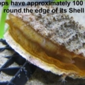 Scallops have approximatley 100 eyes