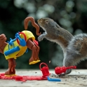 Squirrel playing Buckaroo